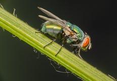 Une mouche restant sur la tige de poivron vert photos stock