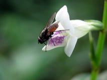 Une mouche se reposant sur la petite fleur de trompette blanche Photo stock