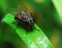 Une mouche sur une feuille verte Image libre de droits