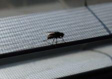 Une mouche sur les abat-jour de fenêtre Image libre de droits