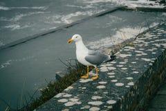 Une mouette était perché sur une pierre près de la mer à baiona, Galicie, PS photo stock