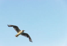 Une mouette de mouche Photo stock
