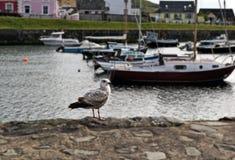 Une mouette devant des bateaux amarrés dans un port de gallois avec différentes maisons colorées à l'arrière-plan photos libres de droits