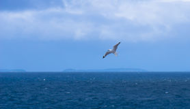 Une mouette en vol à la réservation de Motopohue Photographie stock libre de droits