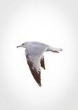 Une mouette en vol Photographie stock libre de droits