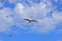 Une mouette glissant dans un ciel nuageux bleu photo libre de droits