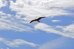 Une mouette glissant dans un ciel nuageux bleu photographie stock