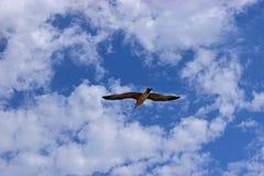 Une mouette glissant dans un ciel nuageux bleu photographie stock libre de droits
