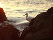 Une mouette mangeant par la mer Méditerranée Image stock