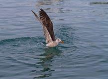 Une mouette mangeant un poisson en mer Photographie stock