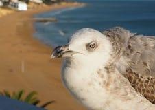 Une mouette mignonne devant la plage d'Albufeira à la côte d'Algarve du Portugal photographie stock