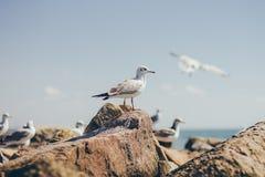 Une mouette se reposant sur la roche Photographie stock libre de droits