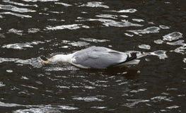 Une mouette se trouve sur l'eau de la rivière image stock