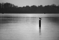 Une mouette solitaire se reposant et se reposant sur un poteau en bois dans un lac Photo stock