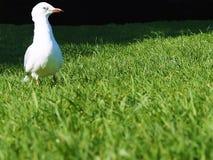 Une mouette solitaire sur l'herbe Photos stock