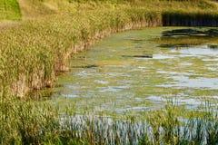Une mousse a couvert l'étang de roseaux Photo stock