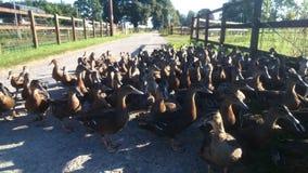 Une multitude de canards faisant une promenade Photo libre de droits
