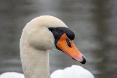 Une natation blanche de cygne sur un lac photo stock