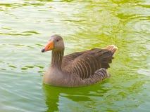 Une natation de canard Photos stock