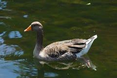 Une natation de canard dans un étang Photographie stock libre de droits