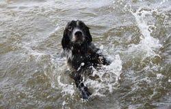 Une natation de chien en rivière Images stock