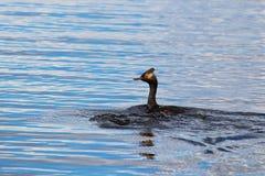 Une natation de grèbe à oreilles dans l'eau onduleuse bleue Image libre de droits