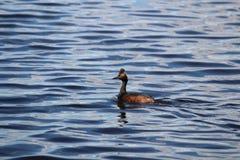 Une natation de grèbe à oreilles dans un lac Images libres de droits