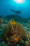 Une natation de plongeur après un anemonefish et son centre serveur, Thistlegorm, Egypte Photos libres de droits