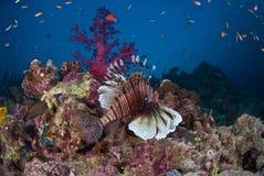 Une natation de poissons de lion le long d'un récif Photo stock