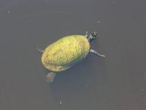 Une natation de tortue verte dans le lac Photos stock