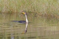Une natation double-crêtée d'auritus de Phalacrocorax de cormoran et plongée dans un étang à un terrain de golf photo stock