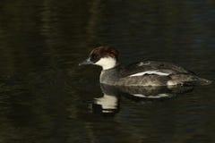 Une natation femelle renversante d'albellus de Mergus de Smew dans un lac Il avait plongé vers le bas dans l'eau pour pêcher des  photos stock