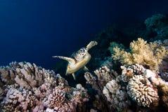 Une natation juvénile de tortue de Hawksbill vers le haut du récif Photo libre de droits