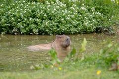 Une natation soloe de Capybara photos stock