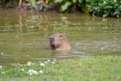 Une natation soloe de Capybara photo stock