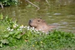 Une natation soloe de Capybara images stock