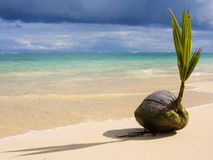 Une noix de coco de germination sur le bord de la mer Photo stock