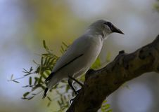 Une observation d'oiseau de myna de Bali son sorrounding photos stock