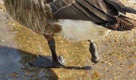 Une oie aux pieds photos libres de droits