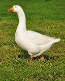 Une oie blanche Image libre de droits