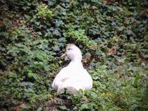 Une oie blanche Photo stock