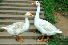 Une oie blanche active et une oie sauvage effectuent deux oies rapport de couples attendant leurs oisons Image libre de droits