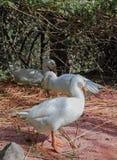 Une oie blanche sur l'herbe orange Photos stock