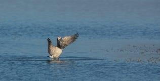 Une oie de bernache portant ses ailes Photo libre de droits