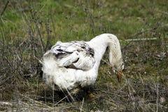 Une oie domestique frôle sur l'herbe verte photographie stock libre de droits