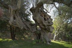 Une olive très vieille Photographie stock libre de droits