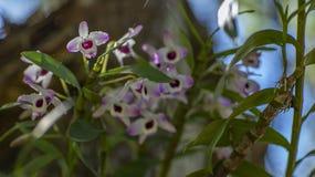 Une orchidée d'oeil de poupée rose et blanche image stock