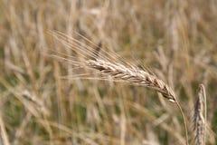 Une oreille mûre de blé dans le domaine en août image stock