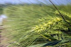 Une oreille spinous, épaisse, remplie de maïs avec un fond de champ nivelé images libres de droits