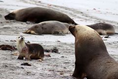 Une otarie de groupe sur la plage à la baie de joint dans l'Australie Photos libres de droits